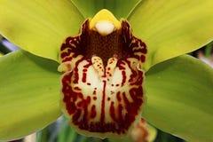 Detalj av patchy rött till den vita kanten av den gula blomman för Cymbidiumfartygorkidé royaltyfri bild