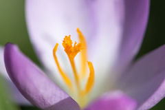 Detalj av purpurfärgad krokus med den orange blommastammen Fotografering för Bildbyråer
