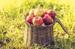 Detalj av röda äpplen i korg Arkivfoto