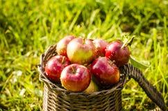 Detalj av röda äpplen i korg Arkivbild