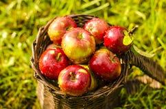 Detalj av röda äpplen i korg på ett gräs Royaltyfria Bilder