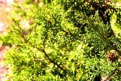 Detalj av Sequoiadendrongiganteumen, jätte- sequoia, jätte- redwoodträd arkivfoton