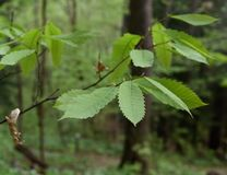 Detalj av sidorna av det utsatte för fara amerikanska kastanjebruna trädet med karakteristiska tandade marginaler fotografering för bildbyråer
