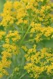 Detalj av små gula blommor royaltyfri fotografi