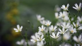 Detalj av små vita blommor grunt djupf?lt stock video