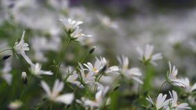 Detalj av sm? vita blommor grunt djupf?lt stock video