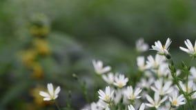 Detalj av sm? vita blommor grunt djupf?lt lager videofilmer