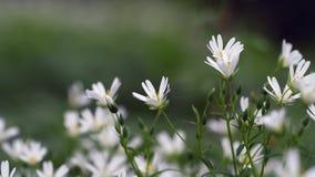 Detalj av sm? vita blommor grunt djupf?lt arkivfilmer
