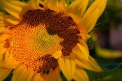 Detalj av solrosen fotografering för bildbyråer