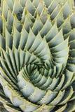 Detalj av spiral aloe Fotografering för Bildbyråer