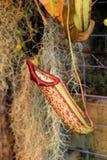 Detalj av stora tubformiga exotiska orkidér i tropisk trädgård Arkivfoton