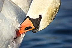 Detalj av svanen Arkivfoto