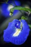 Detalj av ätlig tropisk blommaclitoriaternatea eller blå ärta V Arkivfoton