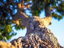 Detalj av trädet på solnedgången Arkivfoto