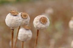 Detalj av trädpoppyheads på fältet arkivfoton