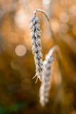 Detalj av vete med oskarp bakgrund arkivfoton