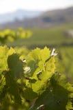 Detalj av vingårdar i Sicilien Arkivfoto