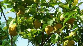 Detalj för citronträd arkivfilmer