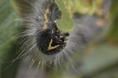 detalj för Fantast-spets larvhuvud Arkivbilder