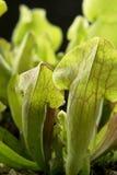 Detalj för köttätande växt royaltyfria foton