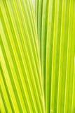 Detalj för kokosnötleafmodell Arkivbilder