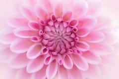 Detalj för närbild för texturrosa färgblomma arkivfoto