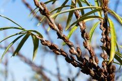 Detalj för växter för Hippophae rhamnoides manlig med kvinnlig fruktbärbakgrund, gemensam buske för havsbuckthorn royaltyfri foto