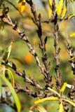 Detalj för växter för Hippophae rhamnoides manlig med kvinnlig fruktbärbakgrund, gemensam buske för havsbuckthorn arkivfoton