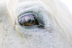 Detalj för vit häst Arkivfoton