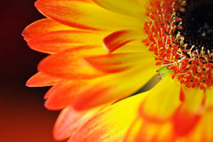 Detalj, foto av den gula och orange gerberaen, makrofotografi och blommabakgrund royaltyfri fotografi