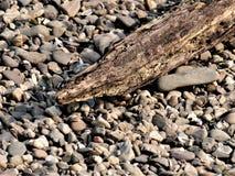 Detalj från en drivved, strandad filial av ett träd på en strand av kiselstenar Trät har antagligen varit i vattnet för ett tag royaltyfria bilder