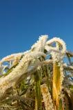 detalj fryst gräs Fotografering för Bildbyråer