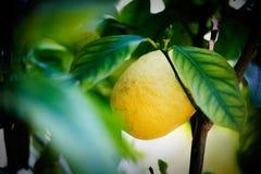 Detalj med en citron i ett träd arkivfoton