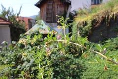 Detalj med växter med gojibär från min organiska trädgård royaltyfri foto