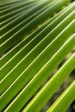 Detalj på den gröna palmbladet på Asien Arkivfoton