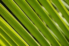 Detalj på den gröna palmbladet på Asien Arkivfoto