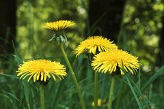Detaljen av den gula maskrosen blomstrar i gräs arkivbilder