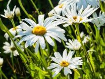 Detaljen av den stora tusenskönan blommar med vattensmå droppar Royaltyfri Fotografi