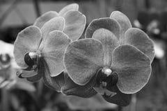 Detaljen av den violetta orkidén blommar i svart Fotografering för Bildbyråer