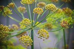 Detaljen av dill blommar (närbilden) suddighet bakgrund Arkivfoto