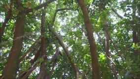 Detaljen av en stor gummiträd i den berömda Ibirapueraen parkerar i Sao Paulo arkivfilmer
