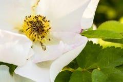 Detaljen av en vit hund steg (den Rosa caninaen) Arkivfoto