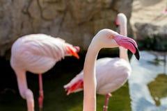 Detaljen av flamingofågelhuvudet, rosa färg färgar, ståenden fotografering för bildbyråer