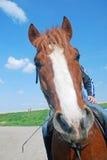 Detaljen av huvudet av den djura hästen Royaltyfri Fotografi