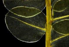 Detaljen av mossa Plagiomnium affine i polariserat ljus Arkivfoto