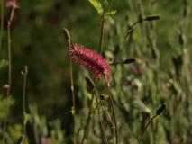 Detaljen av mycket trevligt rött eller rosa färger blommar royaltyfri bild