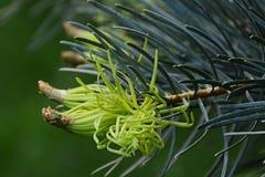 Detaljen av nya visare på barrträdColorado vit gran Abies Concolor Arkivfoto