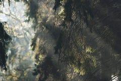 Detaljen av sörjer trädet med strålar av solljus Royaltyfri Fotografi