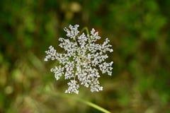 Detaljen av ` s för drottningen Anne snör åt blomman Fotografering för Bildbyråer