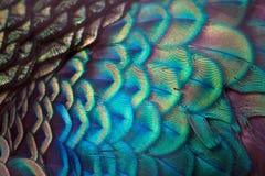 detaljen befjädrar påfågeln Royaltyfri Foto